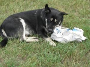 Cousin's dog chews deer skull (near Hinsdale, Montana 2011)
