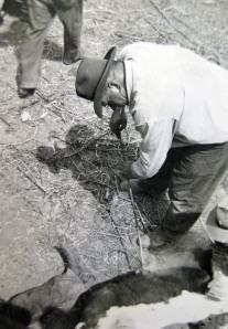 Grandpa Lute brands cattle. (Northeastern Montana,1951)