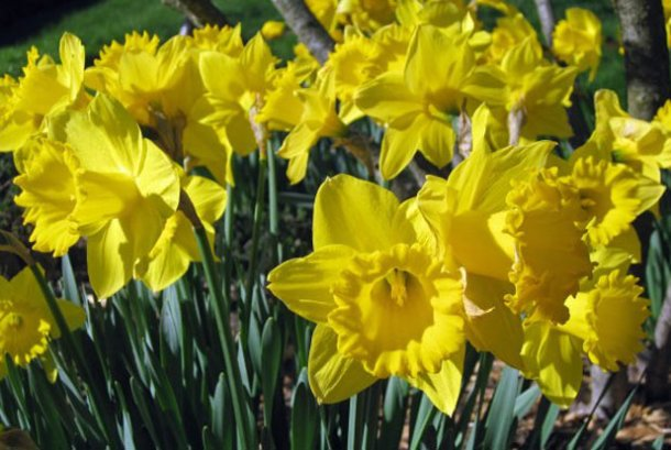 Daffodils: symbol of springtime, and resurrection