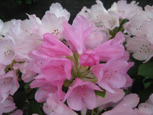 The rhododendron--'rhodie'The rhododendron – 'rhodie' for short – is Washington State's official flower. for short--is Washington State's official flower.
