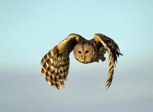 Barred owl (Matthew Paulson, Flickr)